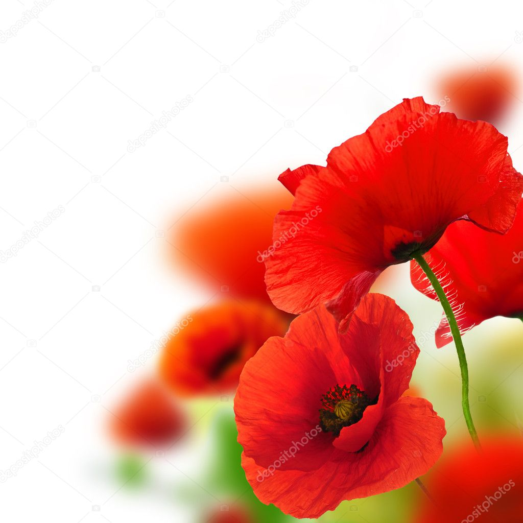 Фотообои Poppies flowers background - frame