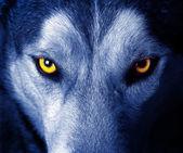 Fotografia occhi di lupo