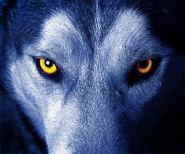 Beautiful eyes of a wild wolf stock vector