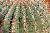 Tövis, és nagyon szúrós tüskék egy kövér kaktusz