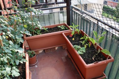 Tomato and pepper plants grown on a vegetable garden in a balcon