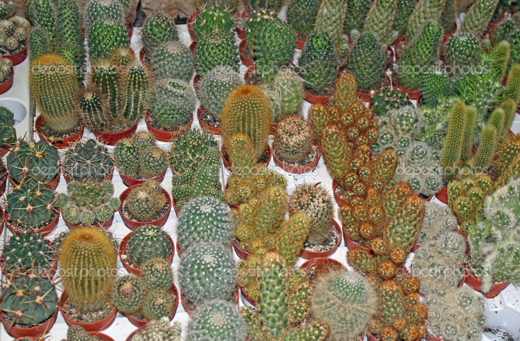 Series of pungent cactus for sale in a greenhouse
