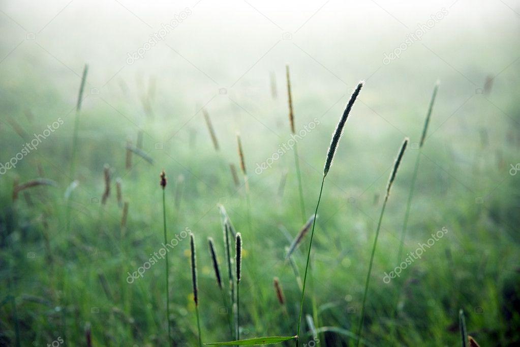 Grass in mist
