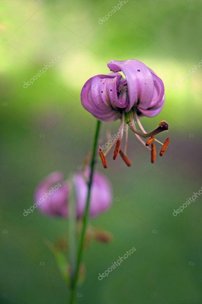 fleur de lys sauvage photographie pinkbadger 8700960. Black Bedroom Furniture Sets. Home Design Ideas