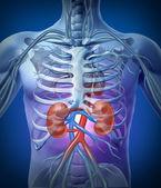 Fotografie lidské ledviny s kostrou