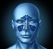 Sinus cavity on a human head