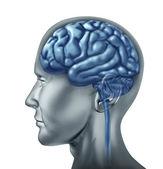 Fotografie Human brain