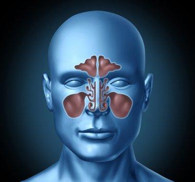 Sinus human nasal cavity with human head