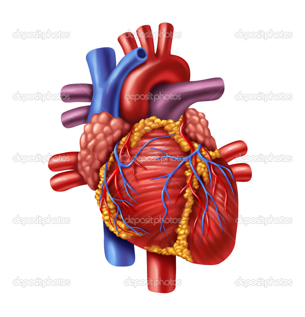 Human Heart Stock Photo Lightsource 8627291
