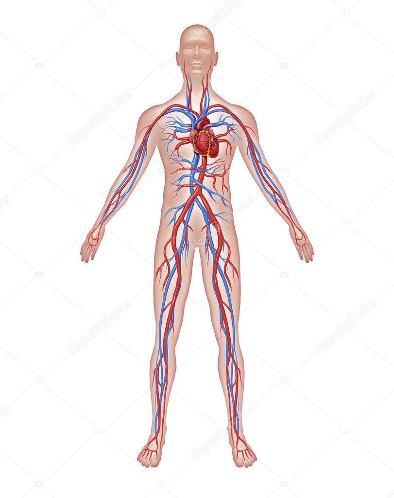 anatomía humana de la circulación — Fotos de Stock © lightsource ...