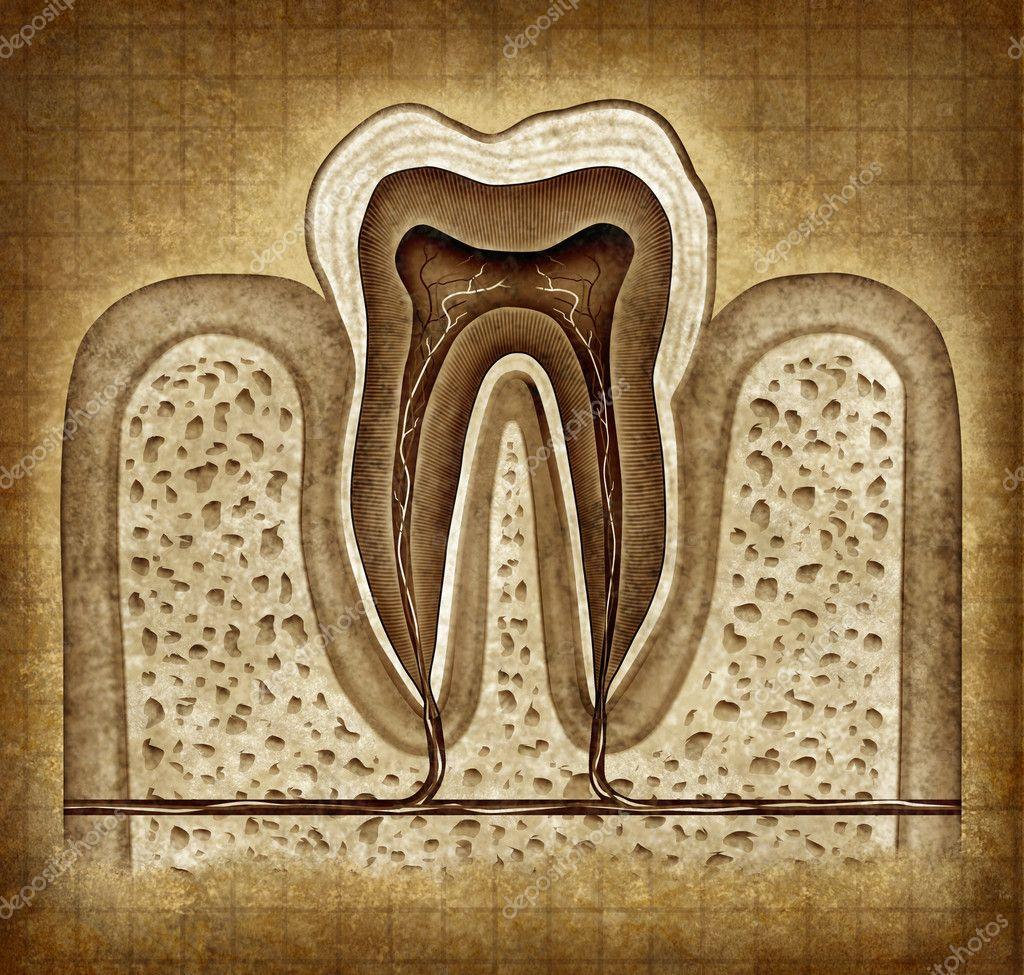 Zahn-Anatomie in Grunge-Textur — Stockfoto © lightsource #8853773