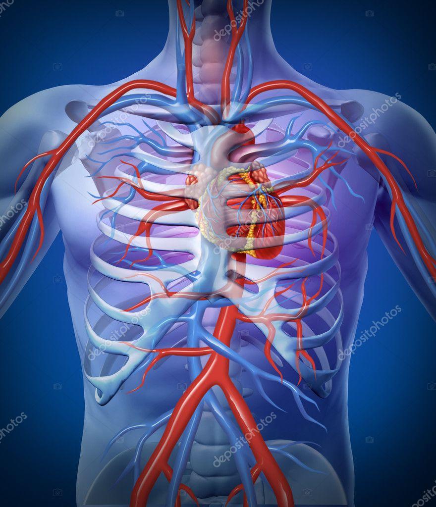menschlichen Herz-Kreislauf in ein Skelett — Stockfoto © lightsource ...