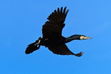 Cormorant (phalacrocorax carbo )