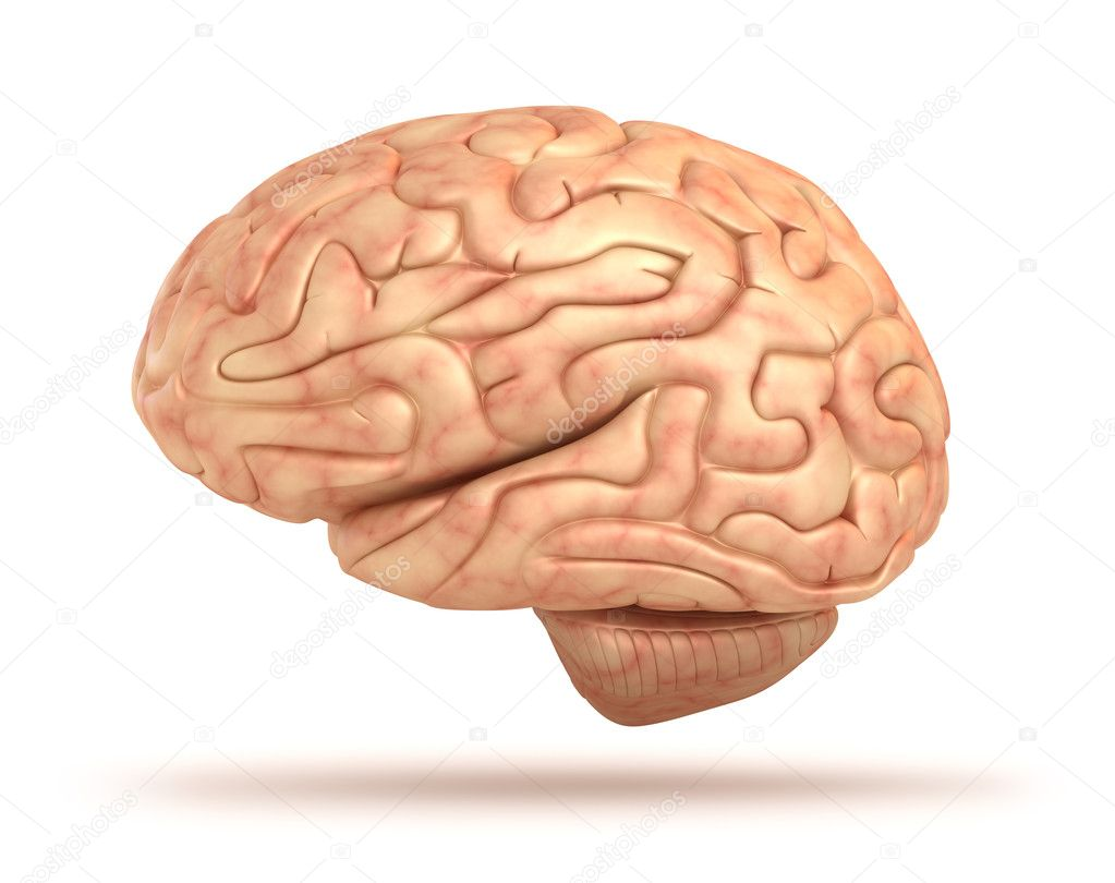 Human brain 3D model, isolated — Stock Photo © Alexmit ...