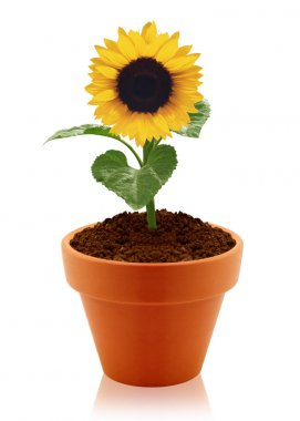 Sunflower in clay pot
