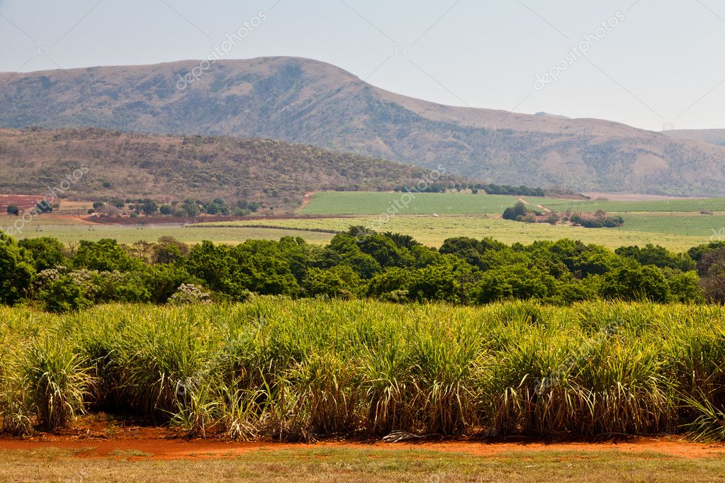 Cane sugar field in a valley
