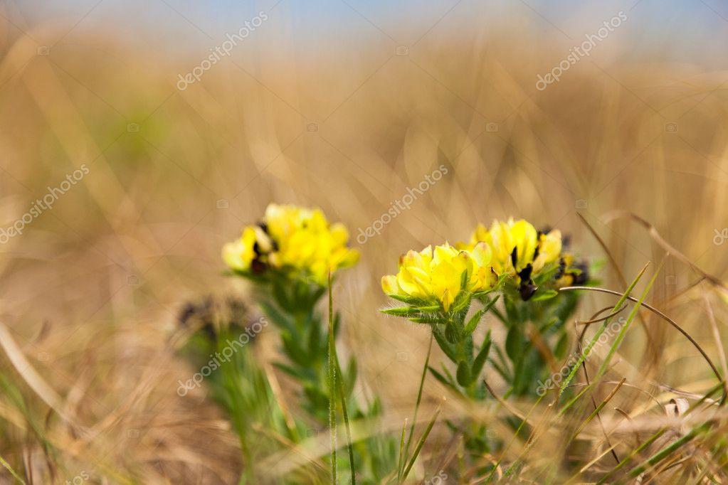 Pequenas Flores Amarillas Que Crece Entre La Hierba Foto De Stock