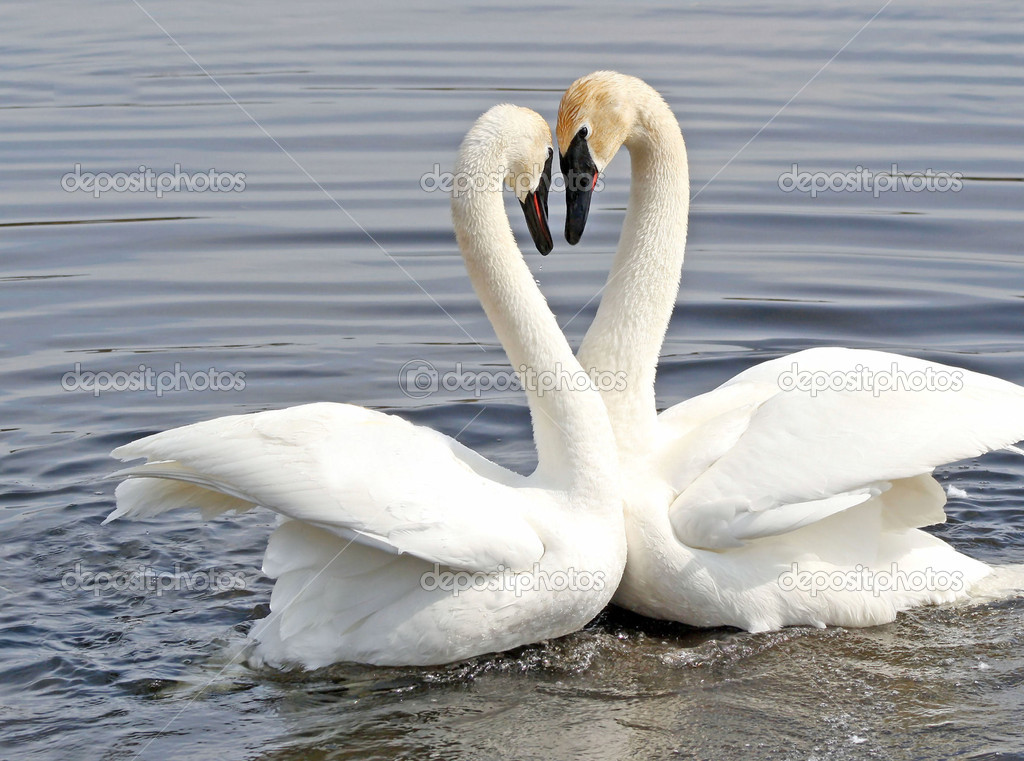 Courtship Dance Of Two Trumpeter Swans