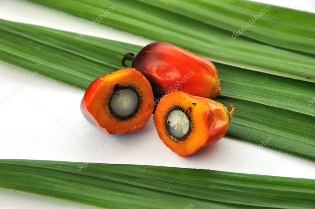 Palm Oil fruits in the Palm tree leaf background.
