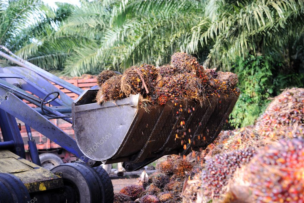 Uploading Palm Oil fruits