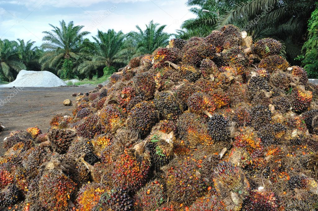 Palm Oil fruits in the Palm tree plantation background.