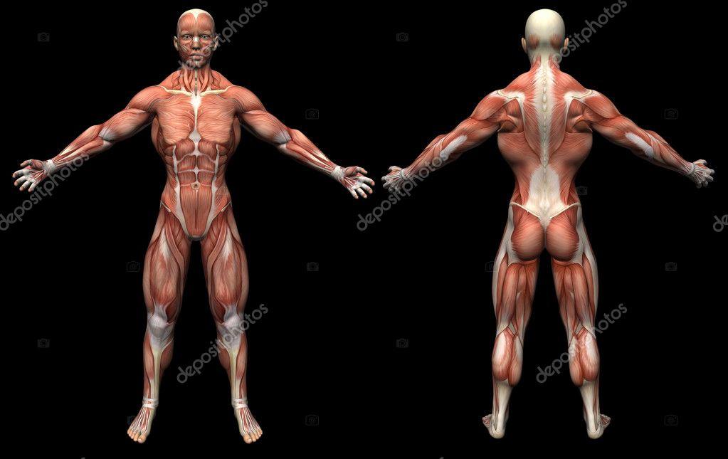 render 3D anatomía humana músculos macho — Foto de stock ...