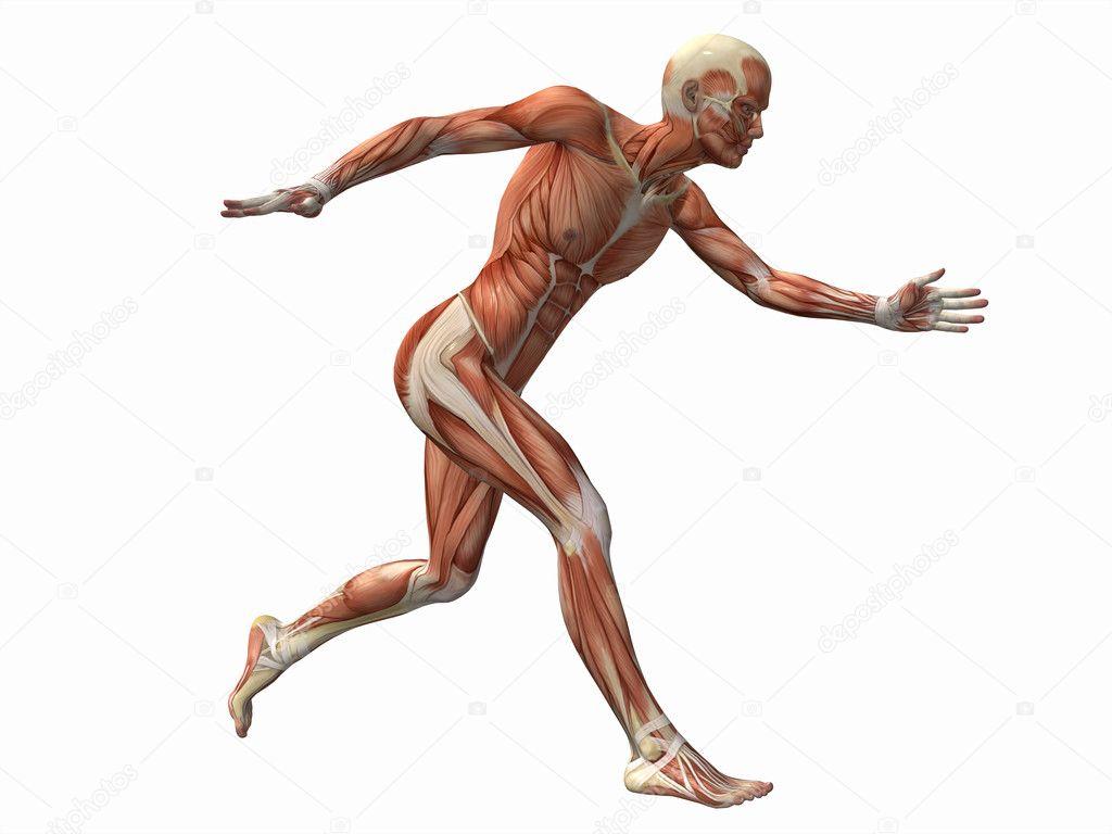 homem de músculo, anatomia do corpo humano masculino — Fotografias ...