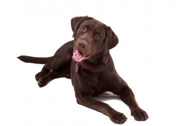 Chocolate Labrador Dog on white background