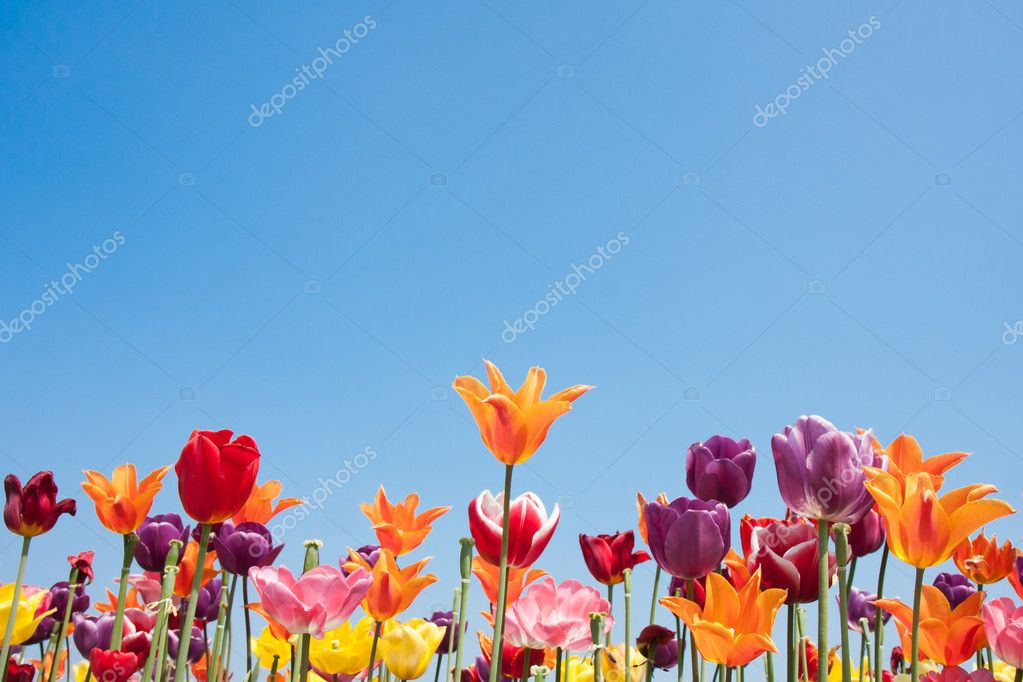 Colorful tulips of the Netherlands