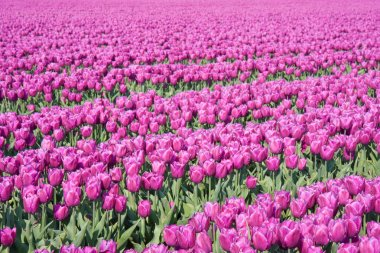 Big field with millions of purple tulips in the Netherlands