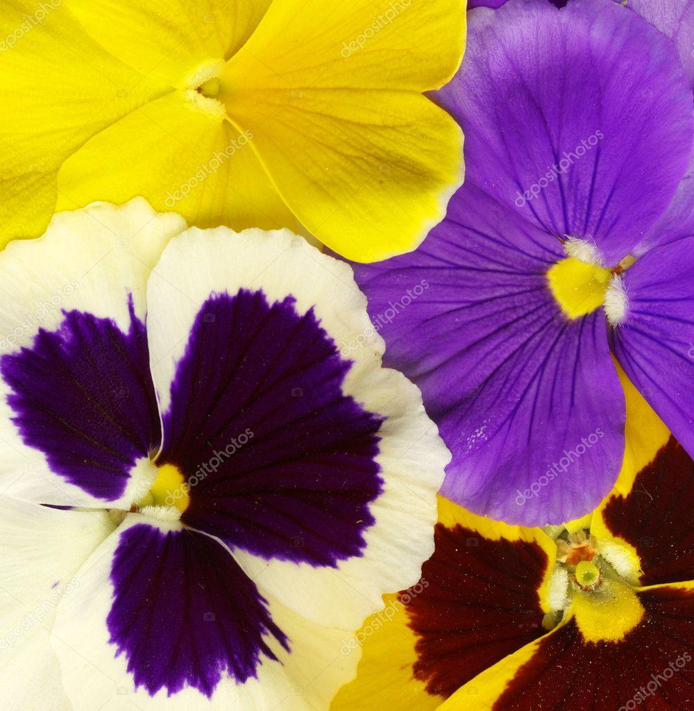 Close-up of colourful viola tricolor