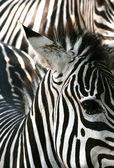 Zebra textura