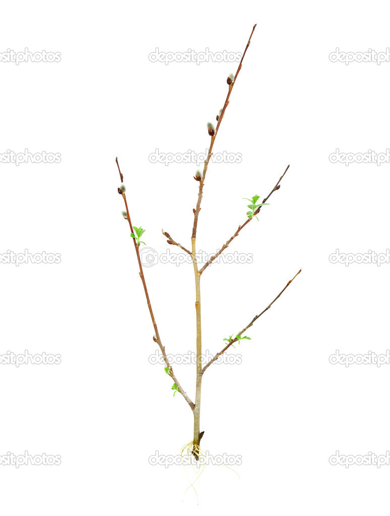 Rooting tree cutting