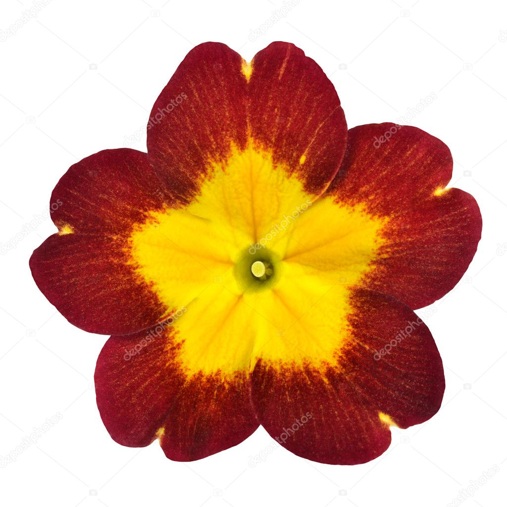 Red Primrose Flower With Yellow Center Isolated On White Stock