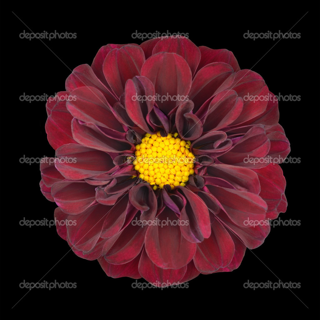 Red Dahlia Flower With Yellow Center Isolated Stock Photo Tr3gi