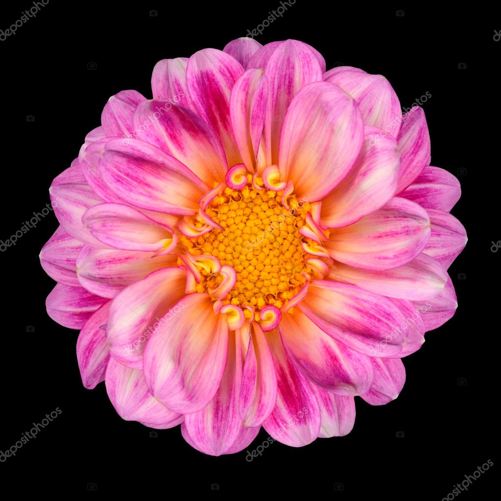 Dahlia Flower with Pink White Petals and Yellow Center