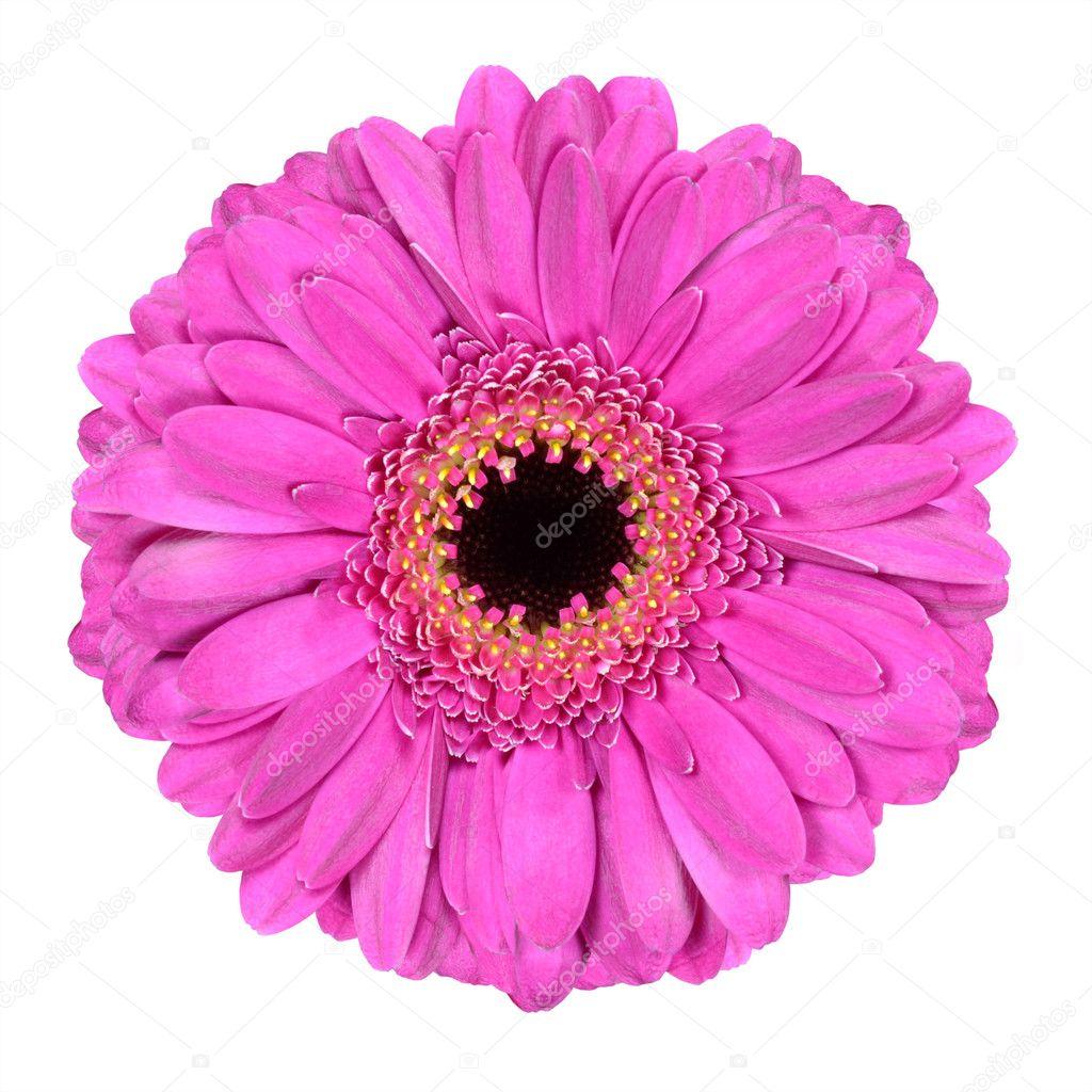 Pink Gerbera Marigold Flower Isolated On White Stock Photo Tr3gi