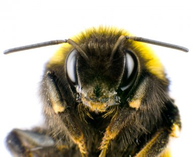 Ultra Macro of Bumblebee Head with Antennas