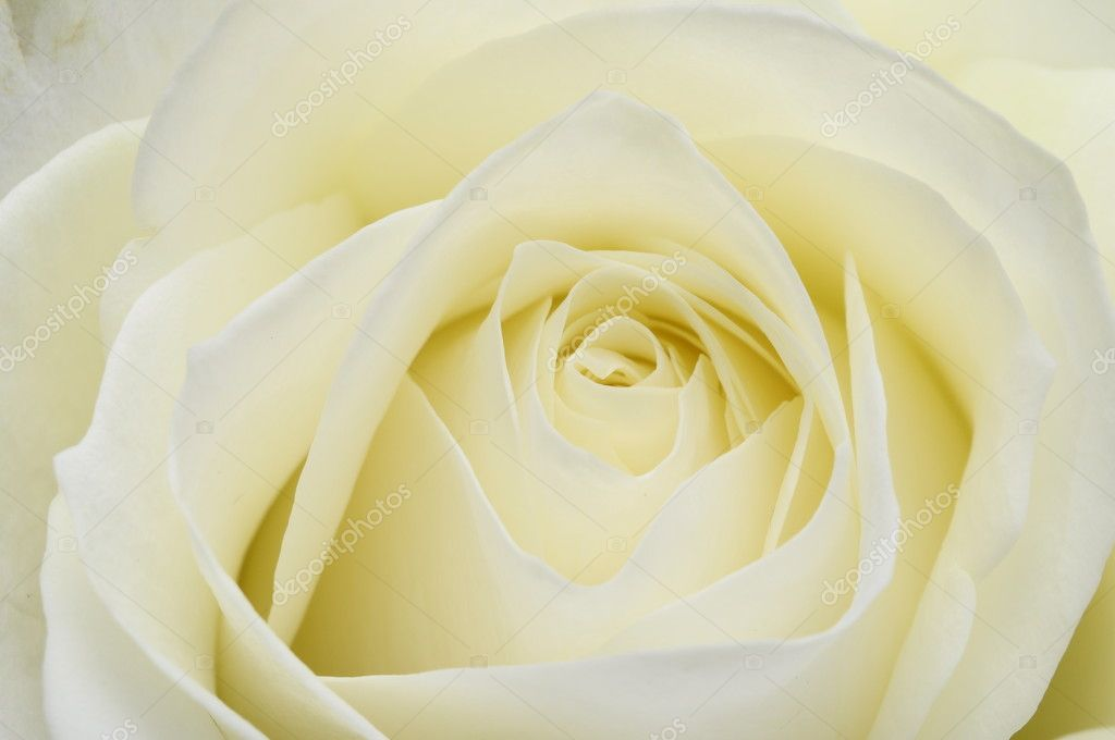 Close up of white rose heart