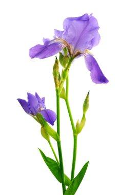 Beautiful iris flower isolated on the white