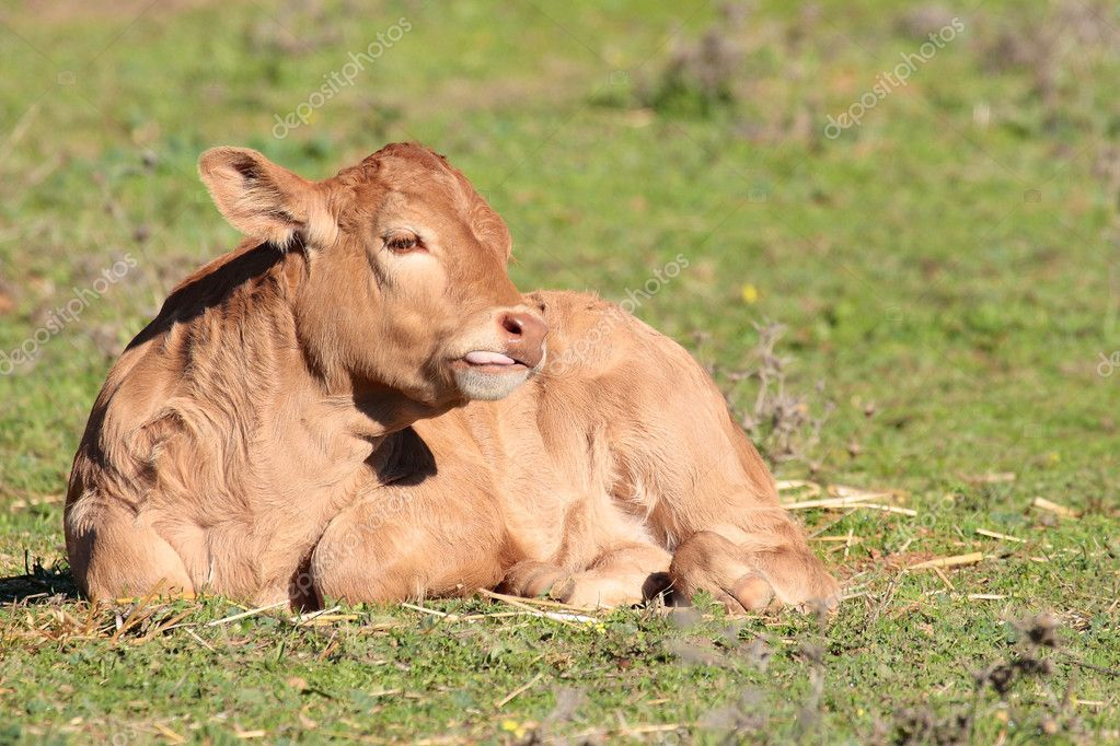 Calf lying on the grass in landscape