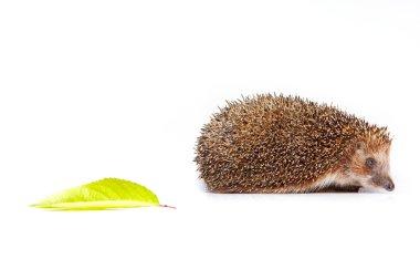 Hedgehog with a leaf