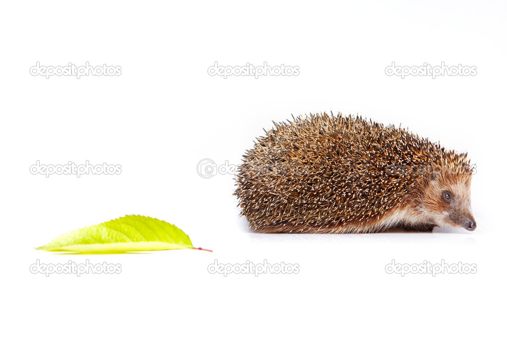 Hedgehog with a leaf