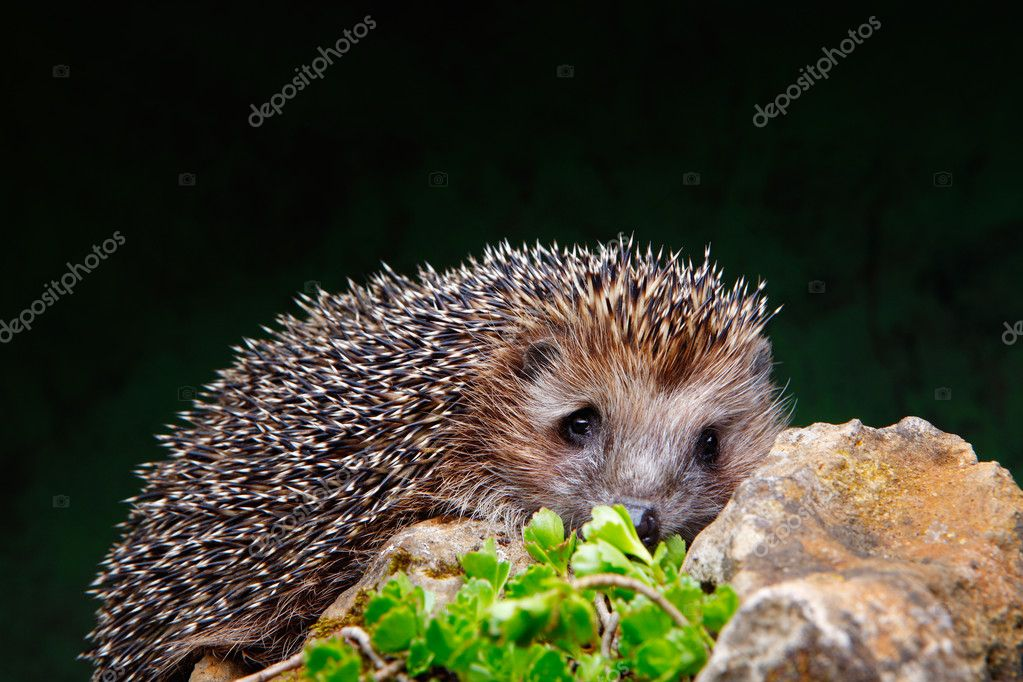 Hedgehog on a stone