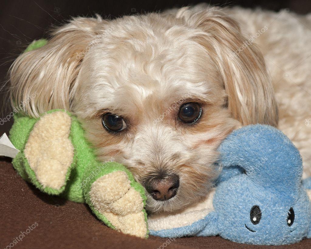 Maltese Yorkie Mix Puppy Morkie Stock Photo Jjvallee 9232975