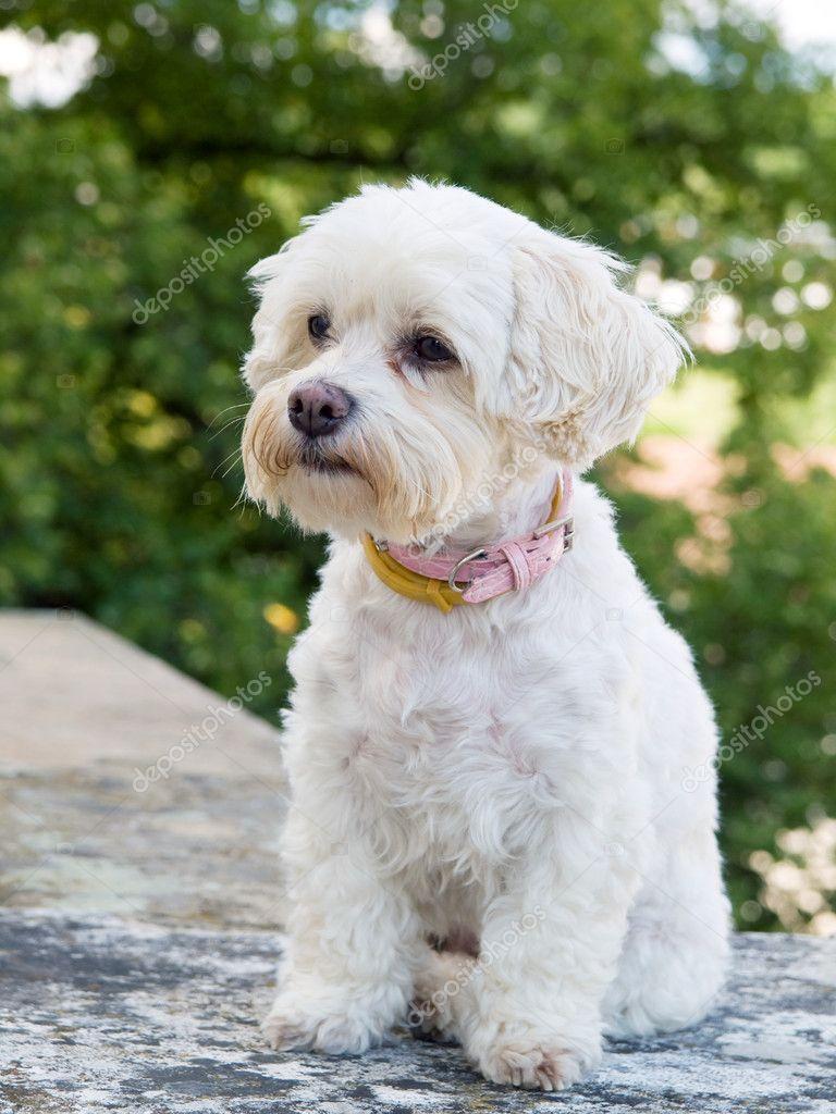 Havaneser Hund Stockfoto Scigelova 10428466