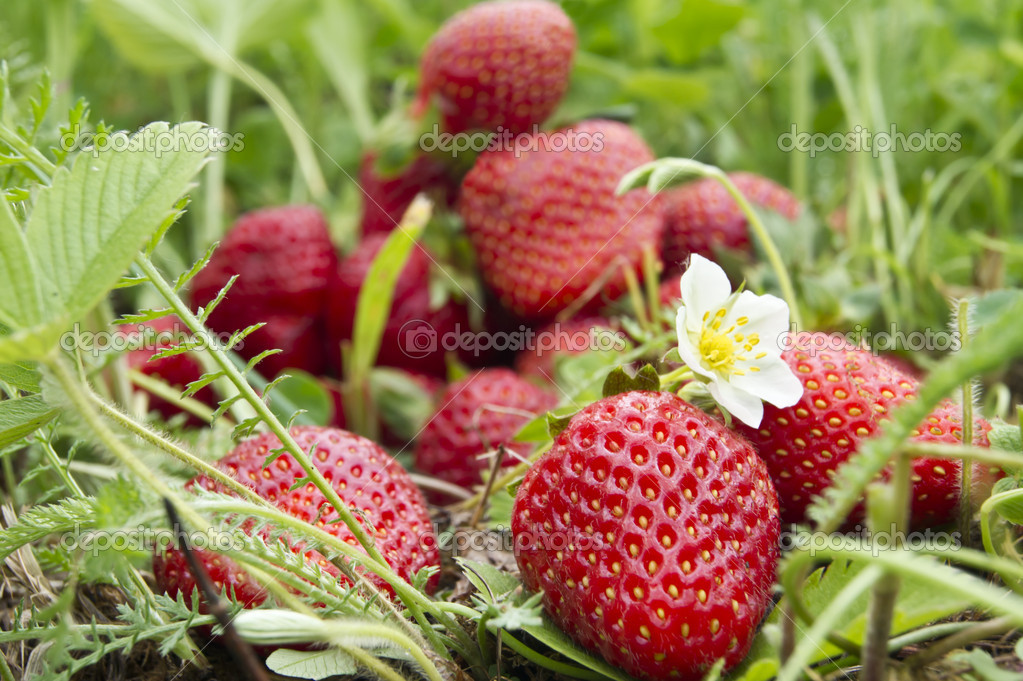 Strawberry fruit in the field