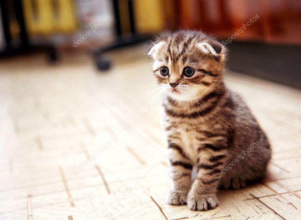 Curious striped scottish fold kitten