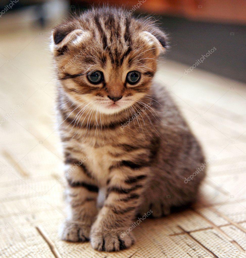 Brytyjski A Szkocki Zwisłouchy Koty Kocury Kociaki Forum
