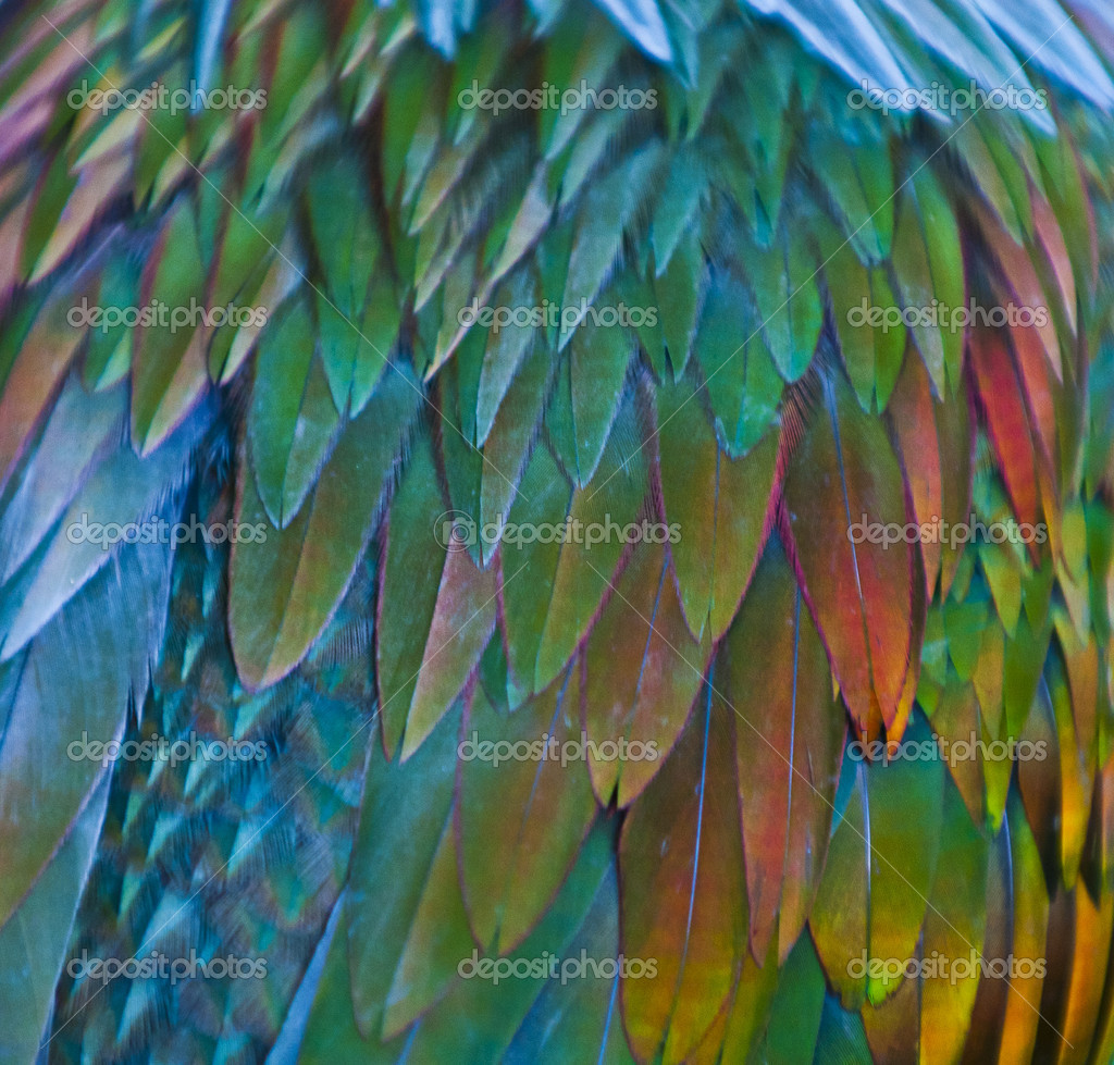 Nicobar Pigeon feathern pattern